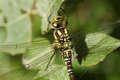 A head shot of a pretty Southern Hawker Dragonfly Aeshna cyanea perched on a plant. Royalty Free Stock Photo