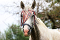 Head shot of a purebred arabian mare in the corral Royalty Free Stock Photo