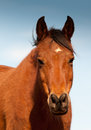 Head on shot of a red bay arabian horse with tippy ears against blue winter sky Royalty Free Stock Photos