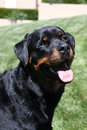 A head shot of a smiling rottweiler dog on the grass Royalty Free Stock Photo