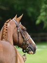 Head shot thoroughbred bridle show ring hand Stock Image