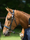Head shot thoroughbred bridle show ring hand Royalty Free Stock Images
