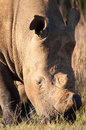 Head shot of a white Rhino Stock Photo