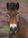 Head shot wild exmoor pony purple heather background Royalty Free Stock Photos