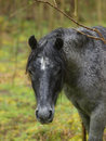 Head Shot of a Wild New Forest Pony Stock Photography