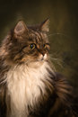 Head shotof tabby mainecoon cat moss color background vertical studuio shot Stock Photography