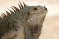 Head and shoulder portrait of a wild iguana iguana iguana close up detail an on palm island saint vincent the grenadines Stock Photos
