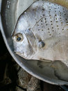 Head of silvery fish with sad eye, loneliness and melancholia, sense of abandonment and sadness Royalty Free Stock Photo