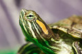 Head of small red-ear turtle in terrarium Royalty Free Stock Photo