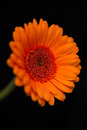 Head and stem of blurred orange gerbera close up the an with petals against a black background Stock Images