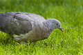 Head of stock dove or wood pigeon young in close up in suburban garden Royalty Free Stock Photography