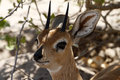 Head study of a steenbok antelope the tiny african Royalty Free Stock Photo