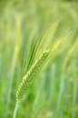 Head of triticale grain grown for silage westland new zealand Royalty Free Stock Photos