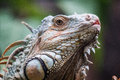 Head view of a green common iguana reptile dragon lizard Royalty Free Stock Photo