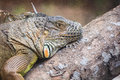 Head view of a green common iguana reptile dragon lizard siting on tree branch Royalty Free Stock Photos