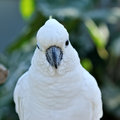 Head of the white cockatoo. Royalty Free Stock Photo
