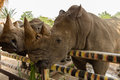 Head white rhino Royalty Free Stock Photo