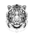 The head of the white tiger sketch vector graphics