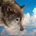Head of wolf against sky