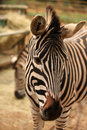 Head of zebra close up the Royalty Free Stock Photos