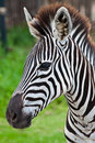 Head of zebra in green field Royalty Free Stock Image