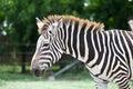 Head of zebra in green field Stock Photography