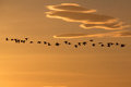 Heading south flock of canada geese migrating in the glow of the winter sun with clouds Stock Photo