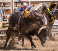 Heading the wrong way a bull rider is off his bull in direction rodeo in cottonwood california is a popular event on mother s day Royalty Free Stock Photos