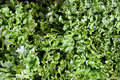 Heads of leafy lettuce at farmers market Royalty Free Stock Photography