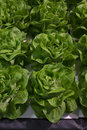 Heads of lettuce Royalty Free Stock Photo