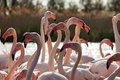 Heads necks and beaks of flamingos close up image a beautiful group with in evidence Stock Photography
