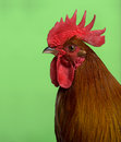 Headshot of Ardennaise rooster Royalty Free Stock Photo