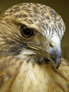 Headshot of a Bird of Prey Royalty Free Stock Image