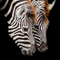 A headshot of a burchell s zebra closeup on black color background Stock Photography