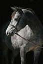 Headshot of grey mare in bridle against black background Stock Photos