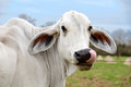 Headshot of a white cow of American Brahman breed with tongue Royalty Free Stock Photo