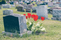 Headstones in a cemetary with many red tulips Stock Images