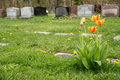 Headstones in a cemetary with red and yellow bicolor tulips Stock Images