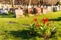 Headstones in montreal cemetery at sunset with red tulips Stock Images