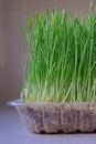Health benefits of consuming wheatgrass Royalty Free Stock Photo
