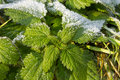 Health, Urtica dioica, often called common nettle or stinging nettle