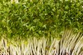 Healthful garden cress close up of Royalty Free Stock Images