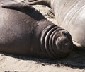 Healthy blubber collar pup laying beach his mother elephant seals come to ano nuevo beach california to have their pups rest their Royalty Free Stock Images
