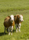 Healthy cattle livestock idyllic rural uk animal feeding in a lush environment Stock Photography