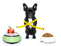 Healthy dog bulldog beside a scale and bowl and measuring tape around waist isolated on white background Stock Photos