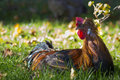 Healthy free cock sitting in grass with red crest Royalty Free Stock Image