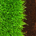 Healthy grass in soil Stock Photography