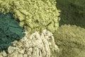 Healthy green dietary supplements background of five supplement powders spirulina chlorella wheatgrass kelp and moringa leaf Stock Photo