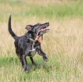 Healthy happy dog playing with its toy cross bred running outside in summertime Royalty Free Stock Photo