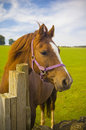 Healthy horse portrait staring directly at the camera sharp focus on the eyes Royalty Free Stock Images